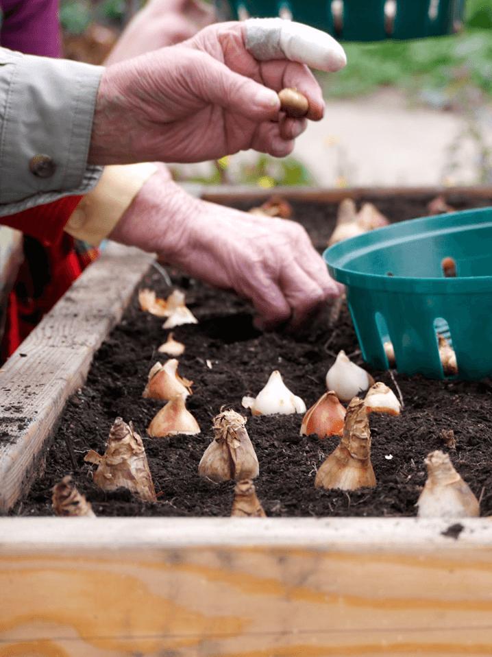 Zwiebeln stecken im Hochbeet