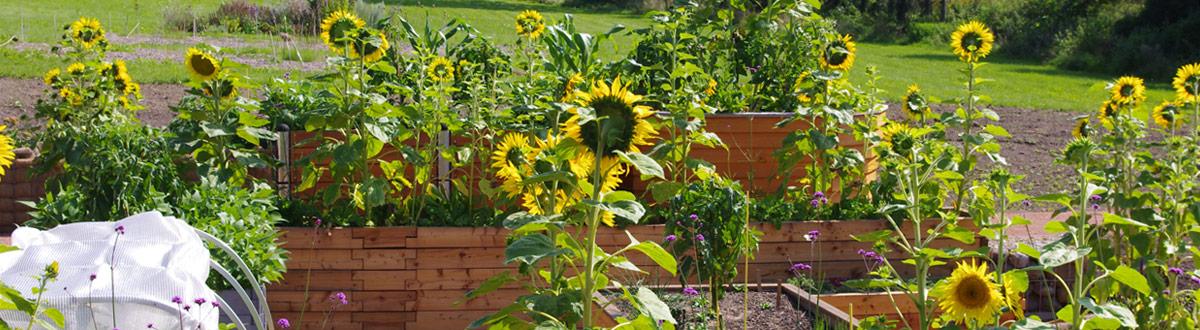 Hochbeete mit Sonnenblumen