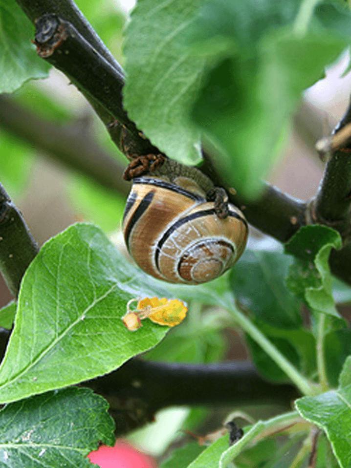 Eine Schnecke im Hochbeet